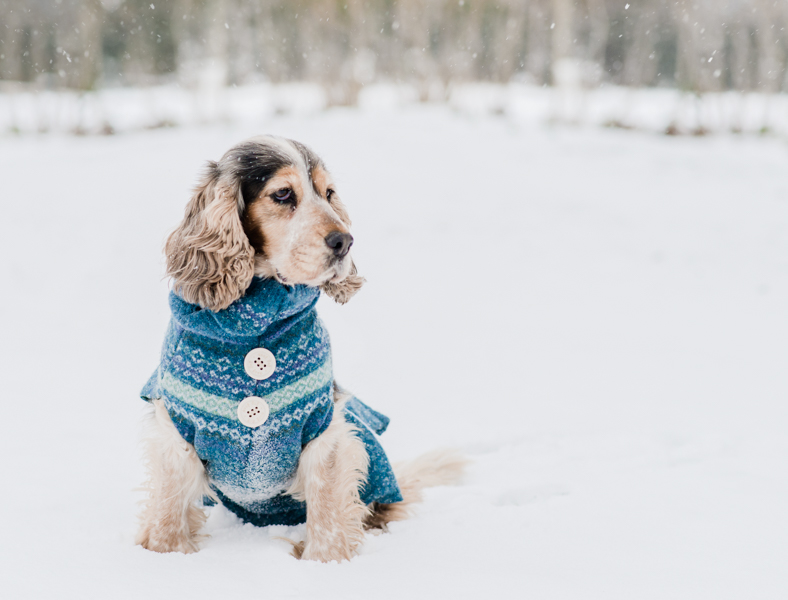 Cocker spaniel in the snow in Suffolk
