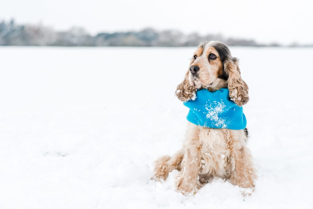Cocker Spaniel in the Snow